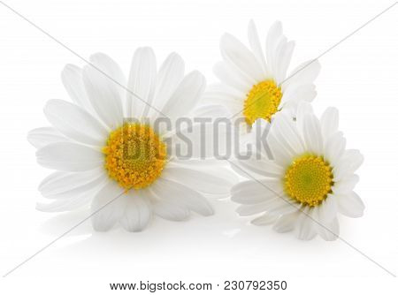 Beautiful Daisies (marguerite) Isolated On White Background, Including Clipping Path Without Shade.