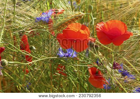 Beautiful Poppies And Cornflowers In The Grain Field, Lüneburg Heath, Northern Germany