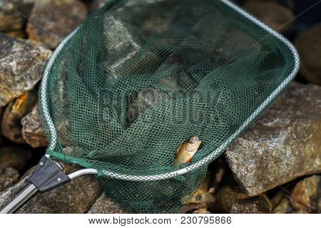Close-up Of Bright Perch Just Taken From Water On Fish-hook Small Fish In Large Fisher Net. Concept