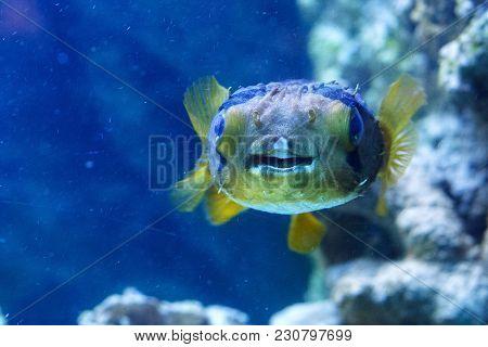 Porcupinefish (belonging To The Family Diodontidae) In The Oceanarium.