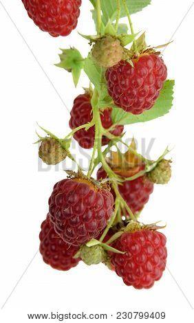 Organic Raspberries On Bush . Growing Berries Closeup. Ripe Raspberry On Branch .ripe Raspberry Isol