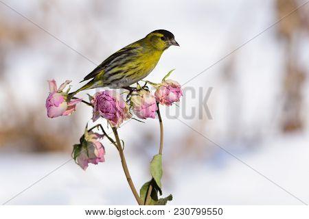 Small Eurasian Siskin (spinus Spinus) Sitting On A Rose Flower Buds.
