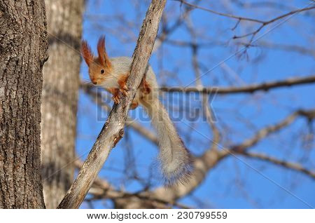 Eurasian Red Squirrel (sciurus Vulgaris) Prepares To Jump From Branch To Branch.