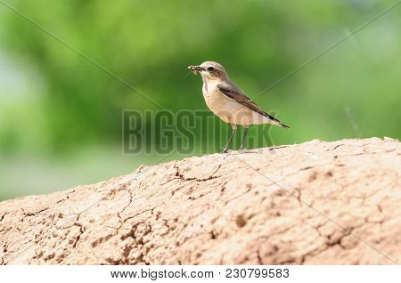 Northern Wheatear (oenanthe Oenanthe) Stands On The Cracked Earth Of The Quarry With A Caught Cockro