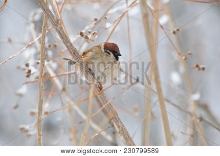 Eurasian Tree Sparrow (passer Montanus) Sits In The Thickets Of The Bush (background Gently Blurred