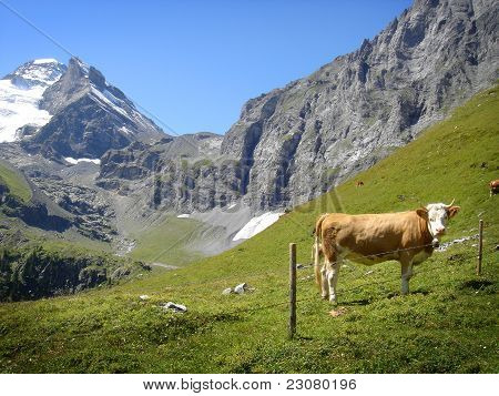 Cow and Swiss Alps