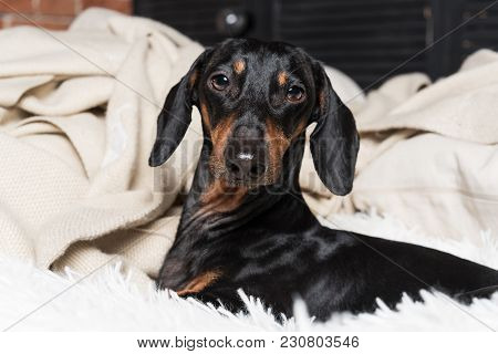 Portrait Of Dog Breed Of Dachshund, Black And Tan, Having Fun On The Sofa