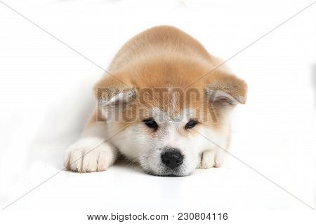 Young Acita-inu Puppy Dog On The White Background