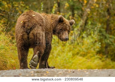 Huge Alaskan Bear Leavaing And Giving Bye-bye, Close Encounter With Bbrown Bear, Very Close Meeting