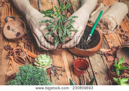 The Florist Behind Work. Hands Of The Florist Replace A Plant In A New Pot. Succulents And Cactuses