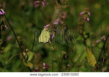 Brimstone Butterfly Sideways Sitting On A Flower In The Sun