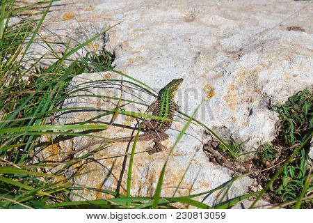 The Green Pregnant Lizard  With Long Tail Have A Rest And Enjoys The Sun. Creepy In The Wild Nature.