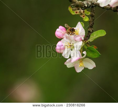 Bee Collecting Honeydew From Flowering Trees In A Spring Garden