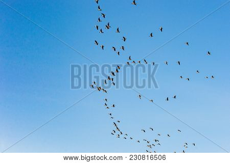 Large Group Of Flying Geese In Formation. Birds On Their Way For Their Annual Migration. Geese Flyin