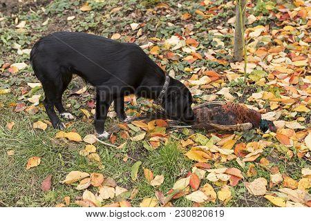 Drathaar, Hunting Dog, German Piggy Dog Cute