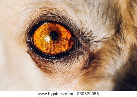 Beautiful Big Red Eye Of Wild Animal, High Detail