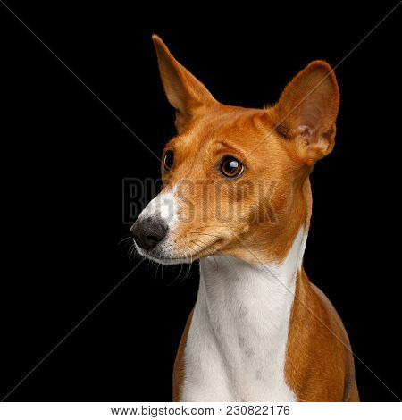 Humanity Portrait White With Red Basenji Dog Stare On Isolated Black Background, Font View