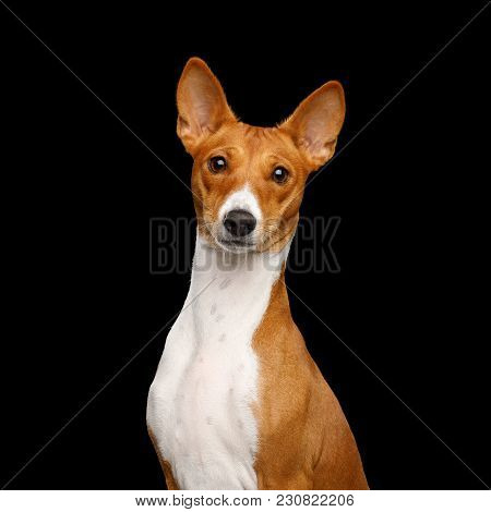 Close-up Humanity Portrait White With Red Basenji Dog Stare On Isolated Black Background, Font View