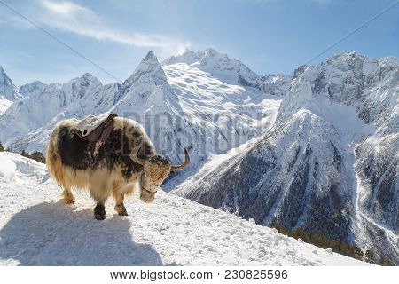 Spotty Yak Stands On The Mountainside Against The Backdrop Of The Caucasian Mountains, Dombai On A W