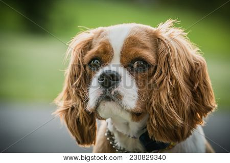 Cute Cavalier King Charles Spaniel Puppy Dog