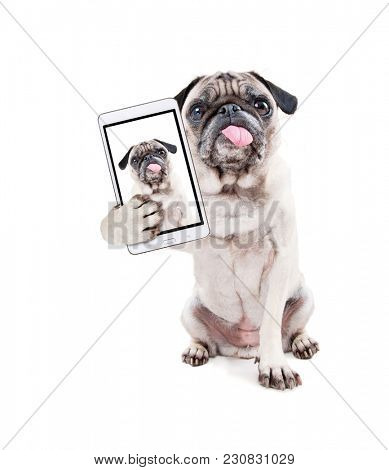 cute pug with her tongue hanging out studio shot isolated on a white background taking a selfie