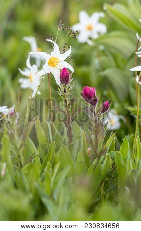 Scarlet Paintbrush And Avalanche Lily In Alpine Field
