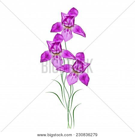 Spring Flowers Iris Isolated On White Background.