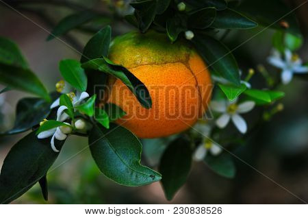 Orange And Orange Blossoms In Garden, Closeup With Flowers Hanging On A Orange Tree