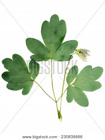 Pressed And Dried Bush With Delicate Transparent Flower Aquilegia Vulgaris, Isolated On White Backgr
