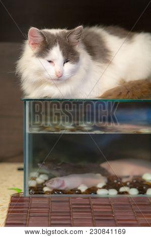 Cat Lies On The Aquarium With Axolotls