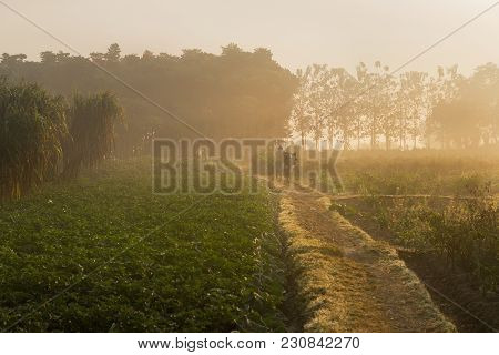 Sun Rises In The Background, Over A Green Agriculture Field. Rural Indian Scene. Nature Stock Image.
