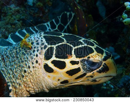 The Amazing And Mysterious Underwater World Of The Philippines, Luzon Island, Anilаo, Sea Turtle
