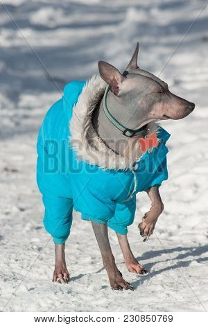 Cute American Hairless Terrier Is Basking In The Rays Of The Sun. Pet Animals. Sunny Spring Day.