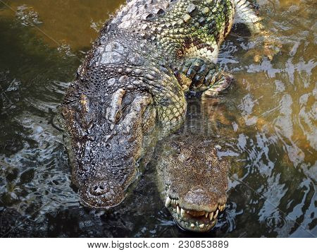 A Closeup Image Of Mating Crocodiles In The Water