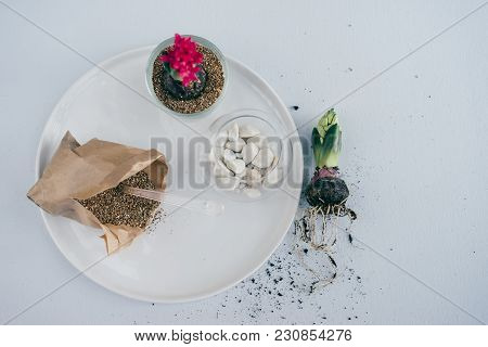 Spring Plant Transplantation In Vermiculite And Glass Vase, Blooming Pink Hyacinth