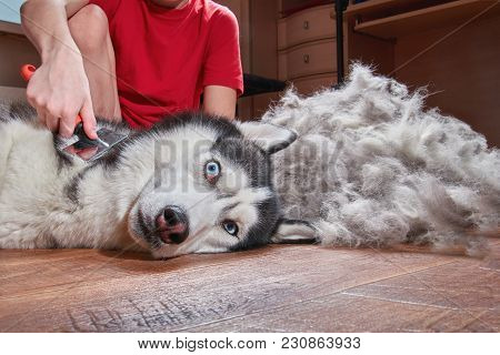 Concept Molting Pet. Grooming Undercoat Dog. Boy Combs The Wool From The Siberian Husky. Husky Dog L