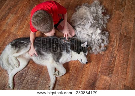 Concept Of Spring Moulting Dogs. Boy Comb Wool From Siberian Husky. Husky Dog Black And White Lies N