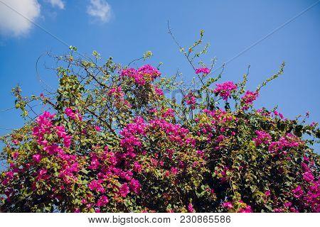 Yoshino Cherry Blossoms Trees Summer Asia Vietnam