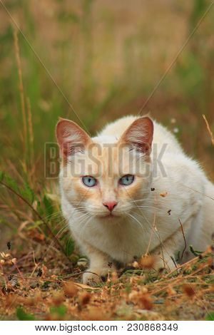 White And Red Hungry Cat Is Hunting On Grass In Autumn Field. Cat Prepares To Jump Onto Something Sh