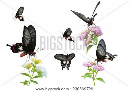Collection Of Red Butterfly (common Rose) Isolated On White Background. This Has Clipping Path.
