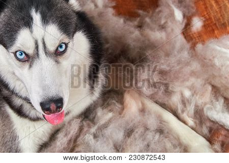 Concept Annual Molt, Coat Shedding, Moulting Dogs. Siberian Husky Lies On Wooden Floor In Pile His F