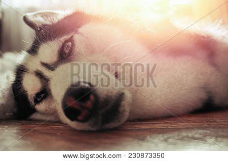Husky Dog Cossets Under Warm Rays Sun. Sweet Siberian Husky Lies On Floor. Close-up.
