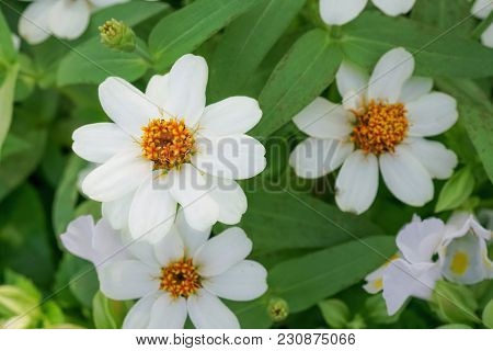 Top View Of Blooming Small White Zinnia Flower In Garden, Shallow Depth Of Field