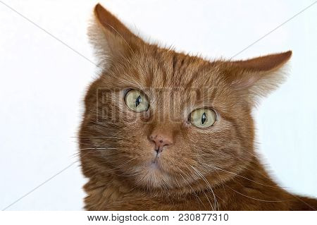 Close Up Image Of The Face Of A Ginger Cat With Detailed Eyes Staring Forward Intensely