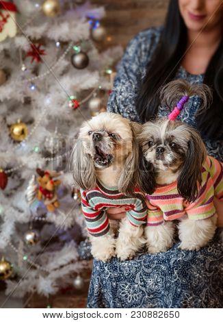 Shih-tzu Dogs