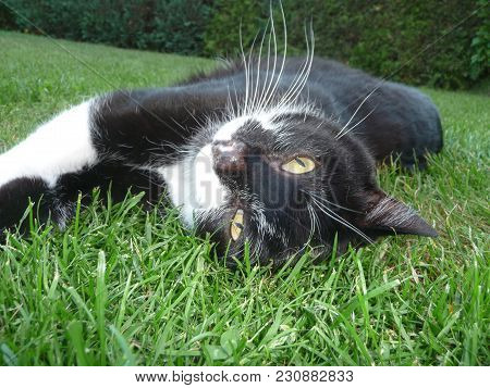 Black And White Tomcat Is Lying On The Green