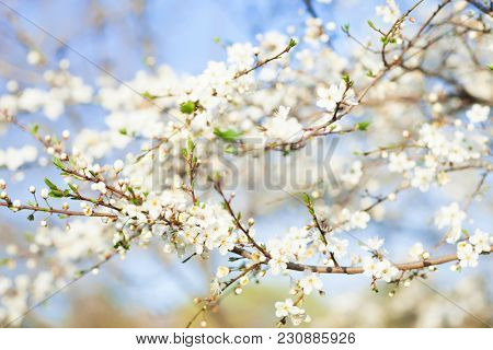 Spring beauty background. Blooming white Flowers of trees on the blue sky background