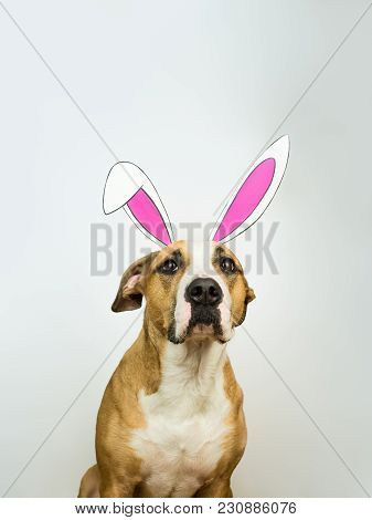 Funny Dog With Easter Bunny Ears. Staffordshire Terrier Puppy Poses For Studio Shot Dressed In Homem