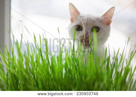 Vitamin Green Grass For Cats Useful Grass For Cleaning The Stomach Cat Is Eating Grass