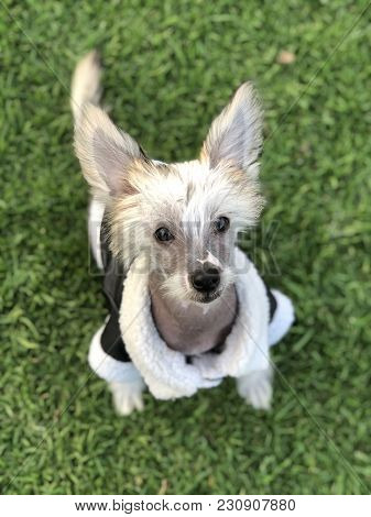 Chinese Crested Puppy Sitting Down On The Lawn